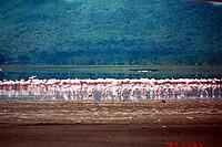 Flamingo are feeding at Lake Nakuru, Kenya