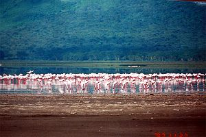 Lake Nakuru - Flamingos feeding at Lake Nakuru