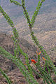 Flickr - ggallice - Ocotillo.jpg