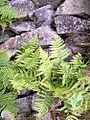 Flora of Lundy (5).jpg