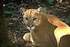 Florida panther(2) (5164633462).jpg