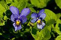 Flower, Viola - Flickr - nekonomania.jpg