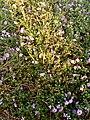 Flower in Kaduna 03.jpg