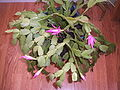Flowering christmas cactus.JPG