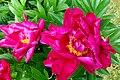 Flowers Rhododendron.jpg