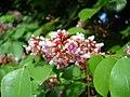 Flowers of Averrhoa carambola.jpg
