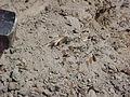Fossil Vertebra- Hell Creek.JPG