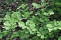 Fothergilla gardenii Jane Platt 2zz.jpg