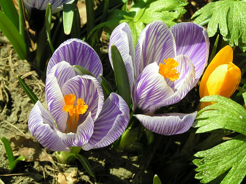 File:Frühlingsblumen 2Krokusse.jpg