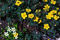 Fringed Grass of Parnassus & Shrubby Cinquefoil (7897938048).jpg