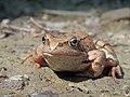 Frog (20970170646).jpg