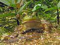 Froggy, Rana catesbeiana - Flickr - GregTheBusker.jpg