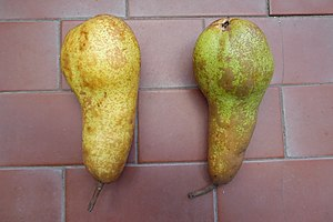 1-Methylcyclopropene - Two same-aged Abate Fetel pears: unlike the left one, the right one was treated with 1-MCP after the harvest