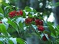 Fruits of Sambucus racemosa, Vitosha mountain.jpg