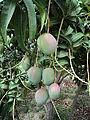 Fruto del Mango.JPG