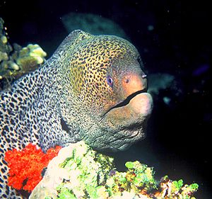 Giant moray (Gymnothorax javanicus) in the Red Sea