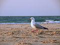 Gabbiano Byron Bay Australia.JPG