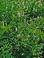 Galega officinalis 001.JPG