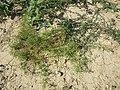 Galium spurium var. echinospermum sl41.jpg