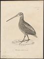 Gallinago gigantea - 1700-1880 - Print - Iconographia Zoologica - Special Collections University of Amsterdam - UBA01 IZ17400309.tif