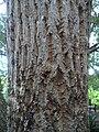 Galpinia transvaalica bark - Kirstenbosch Botanical garden - 2.jpg