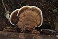 Ganoderma sp 8115.jpg