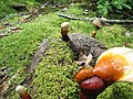 Ganoderma tsugae new growths from tree roots under moss.jpg
