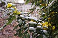 Garten Valentinhaus Mahonia 01.jpg