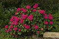 Gartenhortensie in der Gesamtansicht, pink.jpg