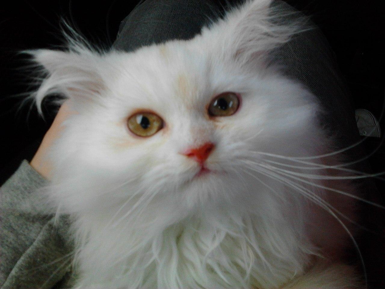 Filegatto Persiano Bianco Giovanejpg Wikimedia Commons