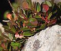 Gaultheria pyroloides (Mount Yakushi).JPG