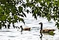 Geese (41667651090).jpg