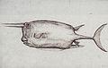 Gelderland1601-1603 Lactoria cornuta.jpg
