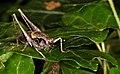 Gemeine Strauchschrecke, Männchen 1989.jpg