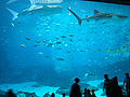 Georgia-Aquarium-RequinsBaleines.JPG