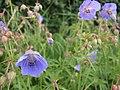 Geranium pratense 'Mrs Kendall Clark' - geograph.org.uk - 485245.jpg