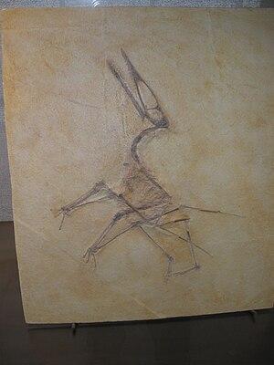 Germanodactylus - Counter-slab