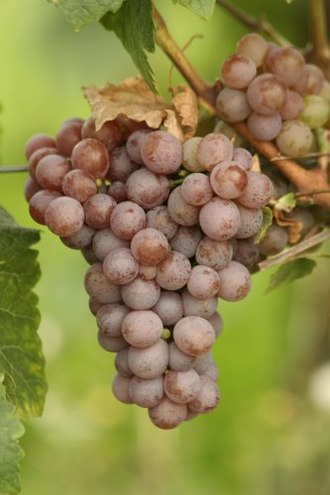Klevener de Heiligenstein - Gewürztraminer grapes. Savagnin Rose grapes are almost indistinguishable except for the translucent skin quality that the appear just prior to veraison.