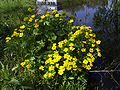 Gewone dotterbloem - Caltha palustris subsp. palustris - overview.jpg