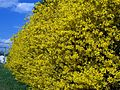 Giant stand of Forsythia.jpg