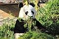 Giantpanda4.jpg