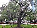 Gibson Square apple tree (2).jpg