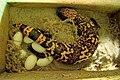 Gila-monster-6-eggs.jpg