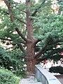 Ginkgo biloba tree, Isham Park.jpg