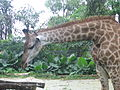 Giraffe, Singapore Zoo - 20050918.jpg