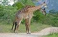 Giraffes (Giraffa camelopardalis) (16462646152).jpg