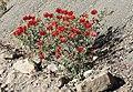 Glauicium - Horned poppies 06.jpg