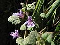 Glechoma hederacea, Gatchina, Leningrad Oblast, Russia - 20080601.jpg