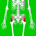Gluteus minimus muscle08.png