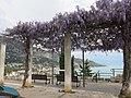 Glycines du boulevard de Garavan.jpg